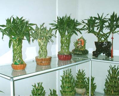 Wholesale Lucky Bamboo Plants In San Diego Chinese Store
